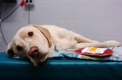 dog-blood-donate